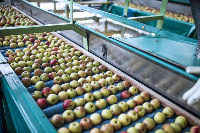 Яблоки на заводе на конвейере — стоковое фото