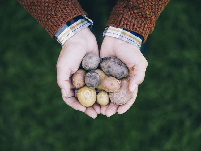 Woman's hands holding various sorts of small potatoes — Stockfoto