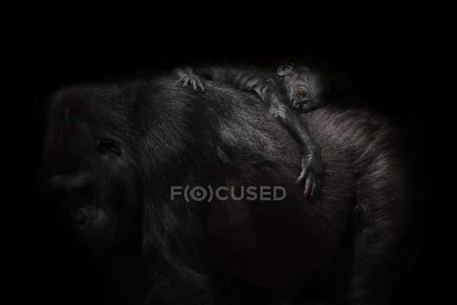 Gorila bebê dormindo na mãe de volta no fundo preto — Fotografia de Stock