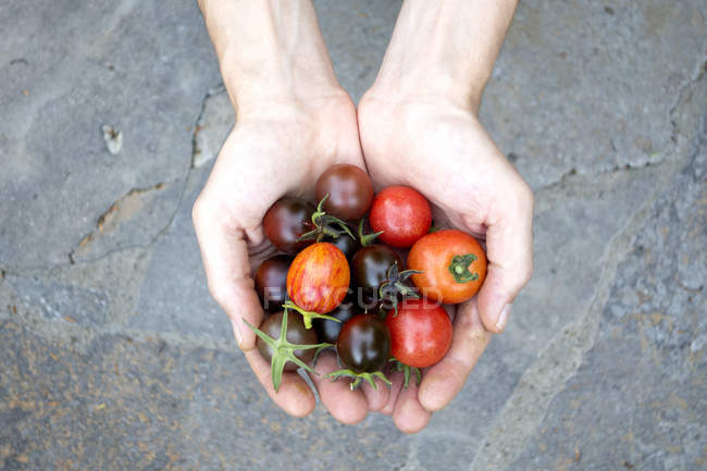 Die Hände des Mannes halten verschiedene Bio-Tomaten — Stockfoto