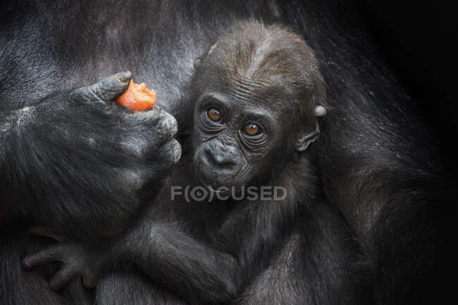 Portrait of gorilla baby in mother's arm in front of black background — Stock Photo