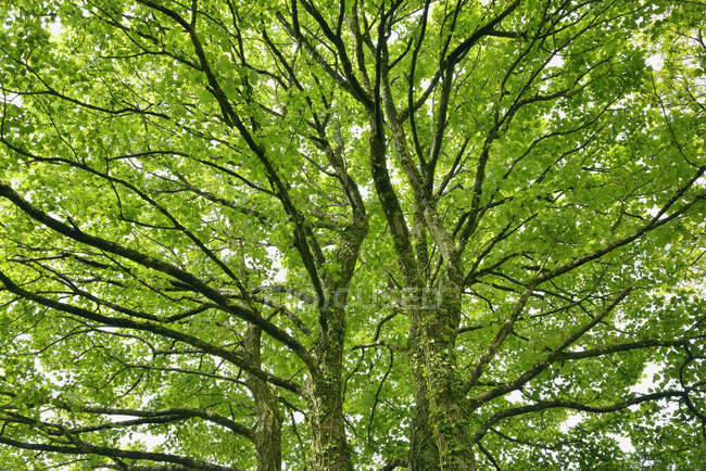 Tree branches of maple tree — Foto stock