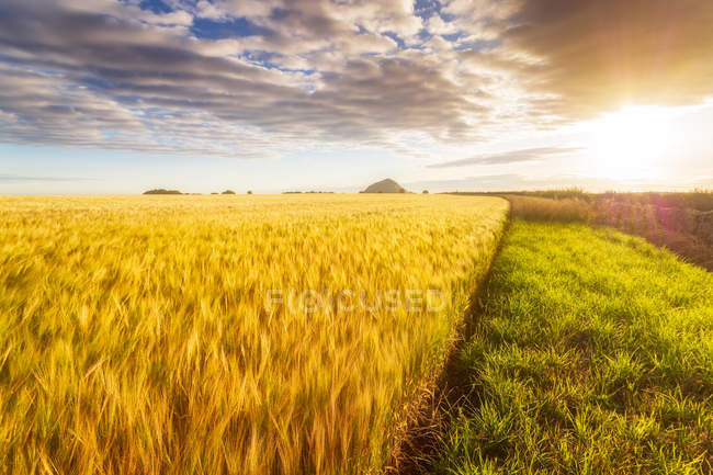 United KIngdom, East Lothian, Barley field, Hordeum vulgare — Stock Photo
