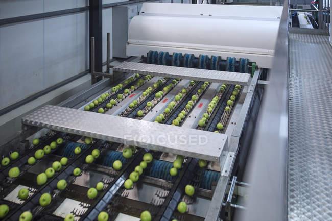Зеленые яблоки на фабрике сортируют — стоковое фото