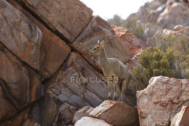 South Africa, Aquila Private Game Reserve, Klipspringer, Oreotragus oreotragus — Stock Photo