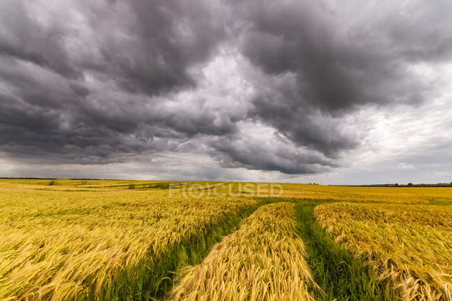 UK, Scotland, East Lothian, field of barley with tractor tracks — Stock Photo