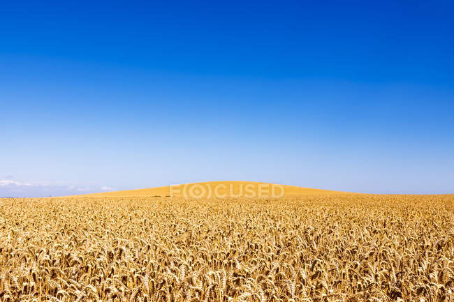 UK, Scotland, East Lothian, field of wheat — Stock Photo