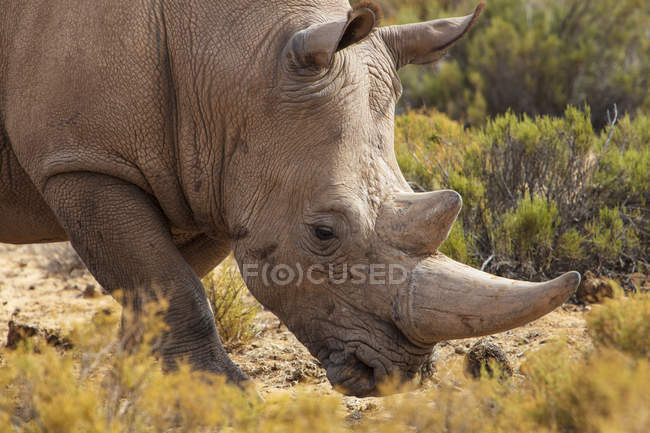 South Africa, Touws River, Cape Town, Aquila Private Game Reserve, Rhino, Rhinoceros — Stock Photo