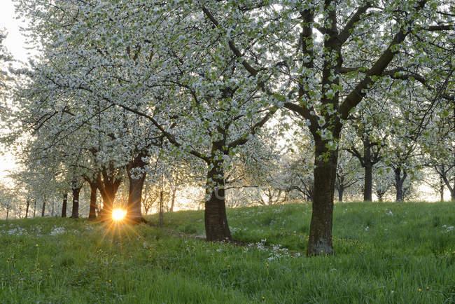 Німеччина, Баден-Вюртемберг, вишневі дерева при цвіті з сонячних променів біля світанку при підсвітку навесні — стокове фото
