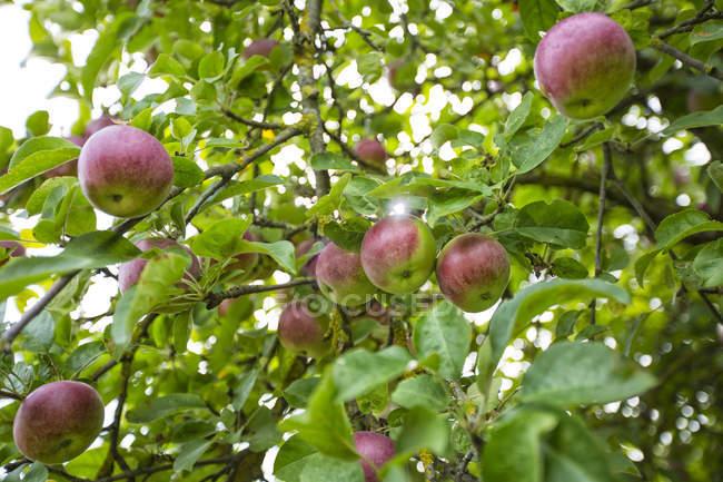 Gros plan de pommes rouges dans l'arbre — Photo de stock