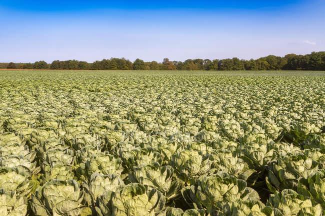 Reino Unido, East Lothian, campo de coles de Bruselas, Brassica oleracea - foto de stock