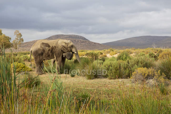 South Africa, Western Cape, Touws River, Aquila Private Game Reserve, Elephant, Loxodonta Africana — Stock Photo