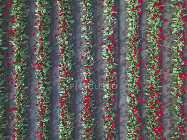 Usa, Washington State, Skagit Valley, campo de tulipanes desde arriba - foto de stock