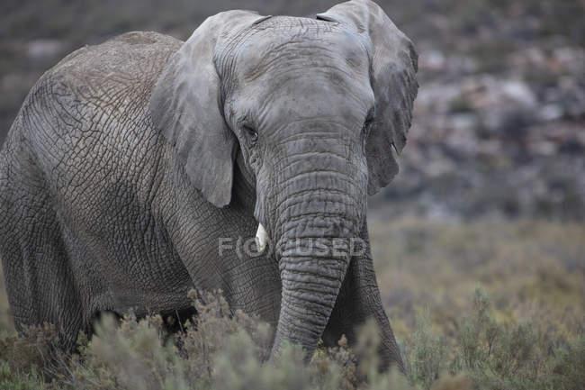 Südafrika, Aquila privates Wildreservat, Elefant, loxodonta africana — Stockfoto