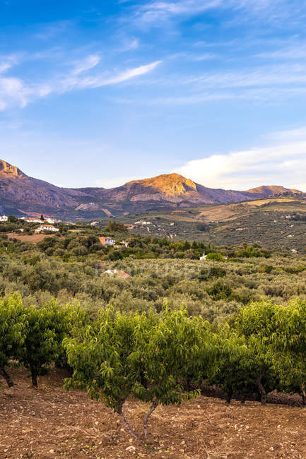 Spain, Mondron, view to olive grove with peach trees in the foreground — Stock Photo