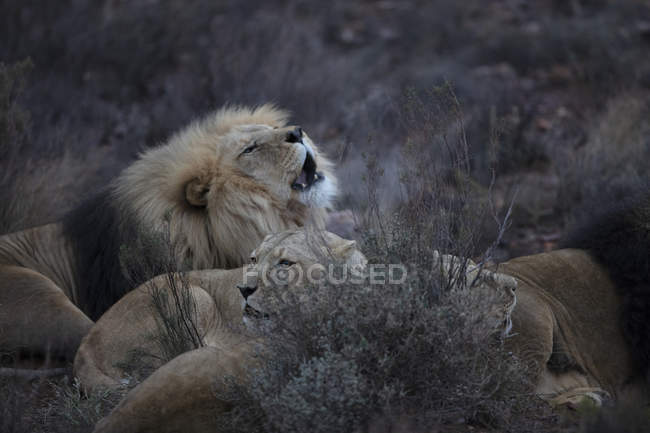 Südafrika, Touws River, Aquila Private Game Reserve, Löwen, Panthera leo — Stockfoto