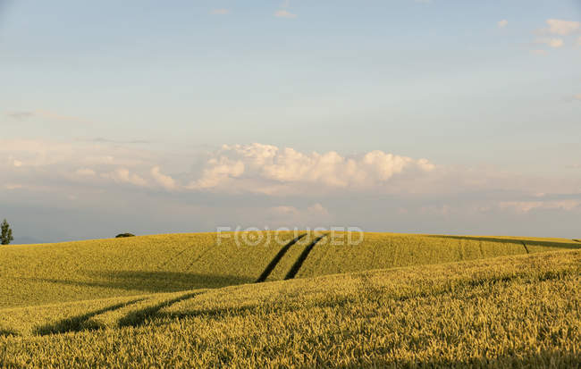 Germany, Bavaria, Irschenhausen, Grain field and tractor tracks — Stock Photo