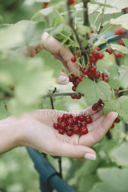 Mujer joven cosechando grosellas rojas - foto de stock