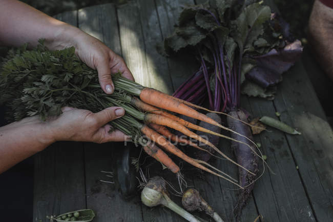 Senior woman's hands holding harvested carrots - foto de stock
