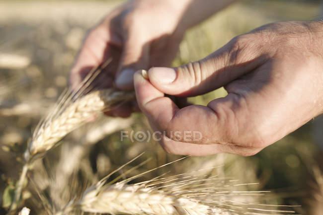 Мужская рука держит пшеничное ухо и зерно — стоковое фото