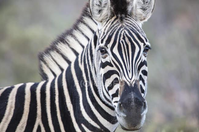 Південна Африка, Акіла приватна гра заповідник, Зебра, Equus quagga — стокове фото