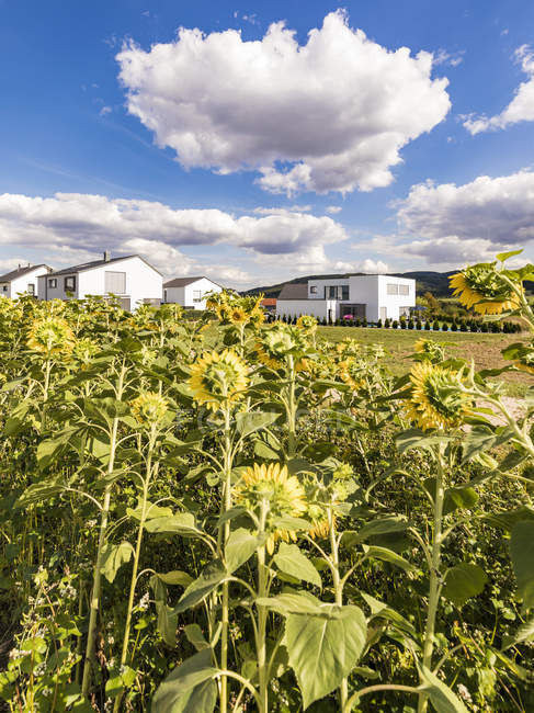 Germany, Baden-Wuerttemberg, Suessen, sunflower field and modern houses — Stock Photo