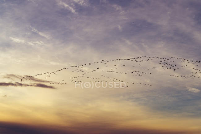 Great Britain, Scotland, East Lothian, Aberlady Nature Reserve, Pink-Footed Geese, Anser brachyrhynchus — Stock Photo