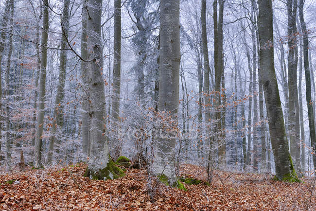Hoar-frost at beech forest — Stock Photo