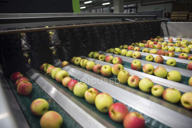 Close up of Apples being sorted — Stock Photo