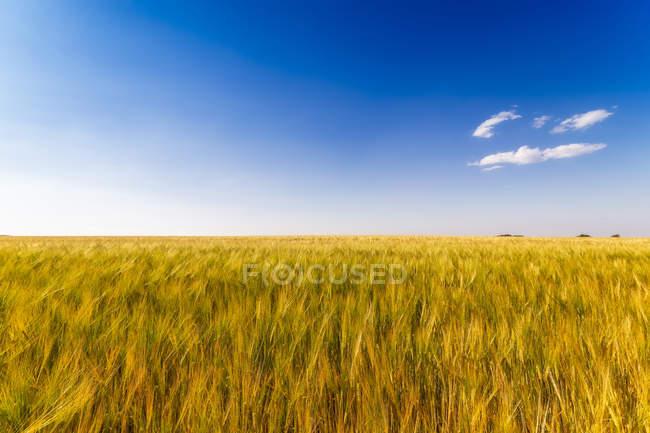 Reino Unido, Lothian do leste, campo da cevada, vulgare de Hordeum — Fotografia de Stock