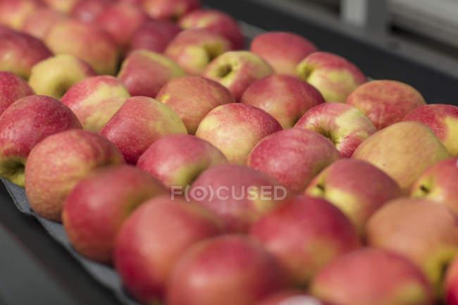 Apples in factory on conveyor belt — Stock Photo