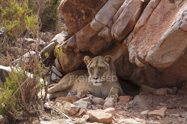 South Africa, Aquila Private Game Reserve, Lioness, Panthera leo — стоковое фото