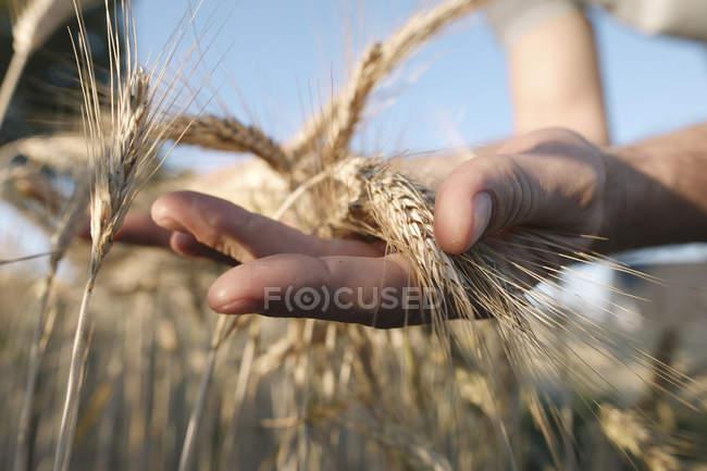 A mão do homem segurando espigas de trigo — Fotografia de Stock