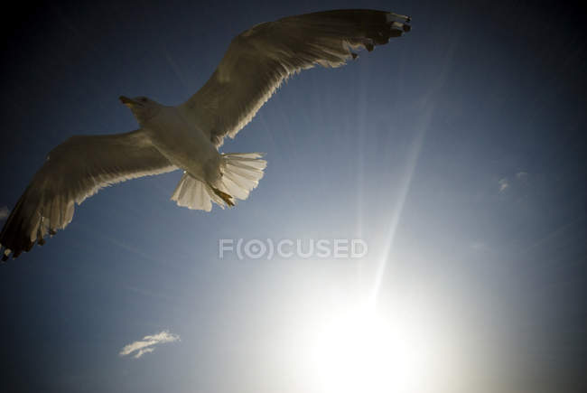 Gabbiano volante nel cielo blu — Foto stock