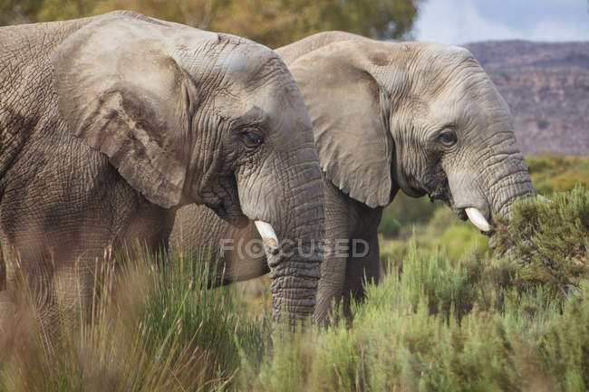 South Africa, Aquila Private Game Reserve, Elephants, Loxodonta Africana — Stock Photo