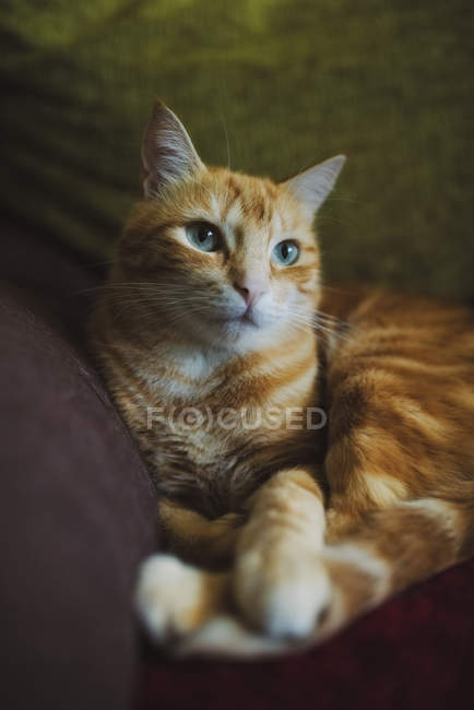 Ginger cat lying on couch — Stock Photo