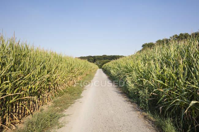 Германия, Северный Рейн-Вестфалия, кукурузные поля, пустой путь — стоковое фото