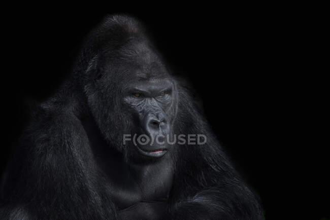 Retrato de gorila delante de fondo negro - foto de stock