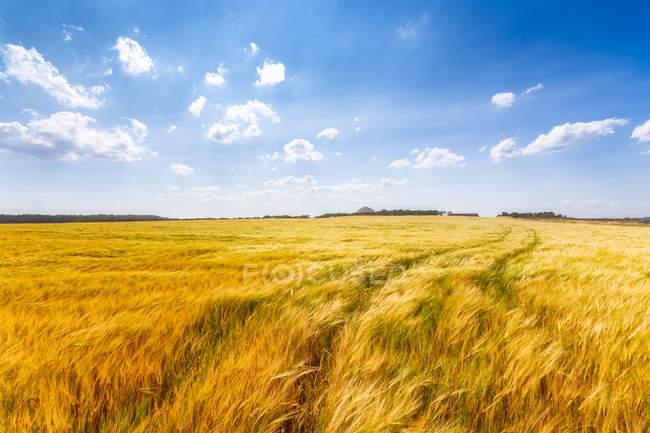 Reino Unido, Lothian do leste, campo da cevada — Fotografia de Stock