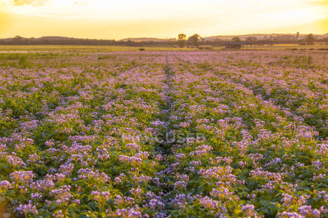 United KIngdom, East Lothian, flowering potato field, Solanum tuberosum, at sunrise — Stock Photo