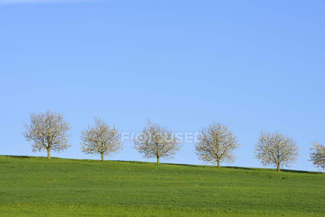 Svizzera, fila di ciliegi in fiore su un prato contro il cielo blu — Foto stock