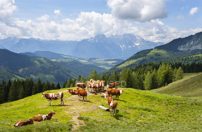 Austria, Salzburg State, Tennengau, Sankt Koloman, cows — Stockfoto