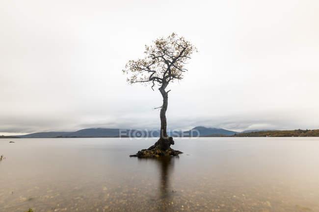 Royaume-Uni, Écosse, le seul arbre du lac Loch Lomond — Photo de stock