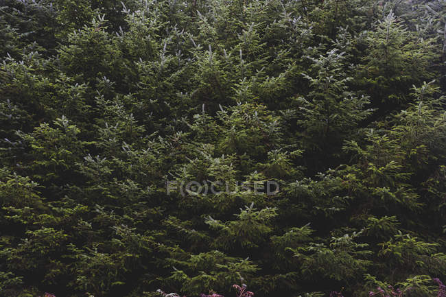 United Kingdom, England, Cumbria, Lake District, fir trees, close up — Stock Photo