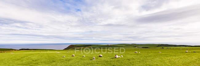 Schottland, Aberdeenshire, Schafherde an der Küste bei Crobie — Stockfoto