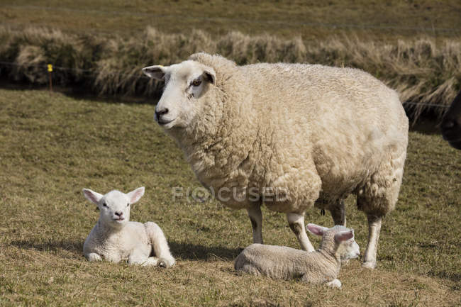 Germany, Schleswig-Holstein, North Frisia, sheep and lambs — Stock Photo