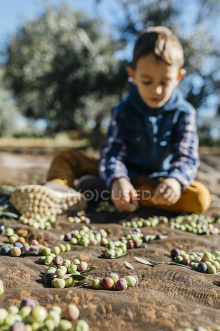 Boy playing with olives in olive orchard — Stock Photo
