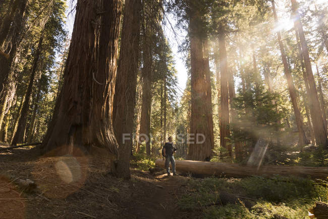 Usa, California, Sequoia National Park, Sequoia tree and man, luce solare — Foto stock
