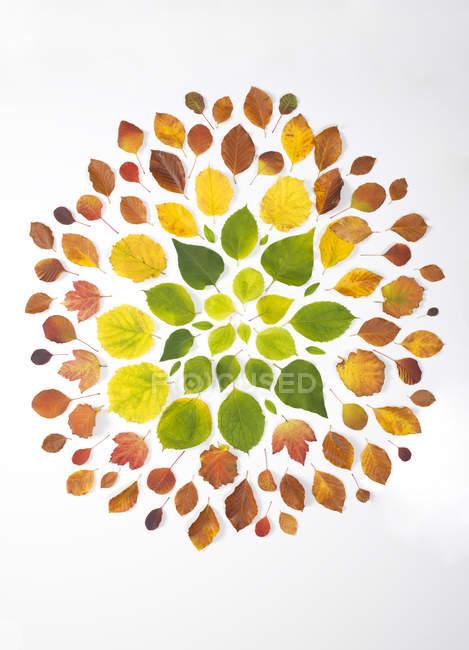 Folhas de outono no fundo branco — Fotografia de Stock