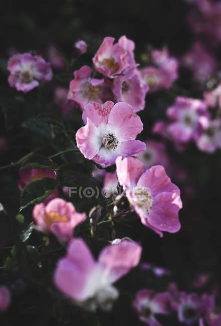 Dog rose, Fcanina — стоковое фото